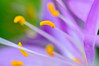 Autumn Crocus #1