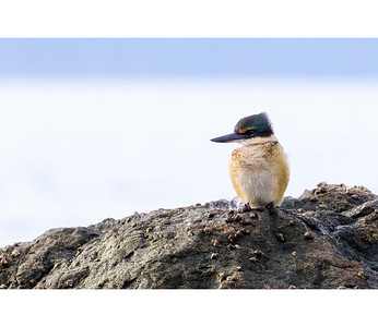 Kōtare Part 1  A Sacred Kingfisher or Kōtare perched on a rock, taking a break from feeding.