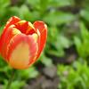 Tulip (05.2012)
