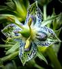 Green Gentian (Frasera speciosa)
