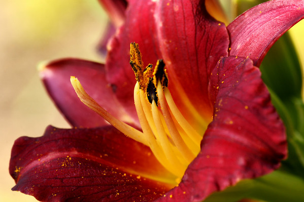 DSC07196 Lily