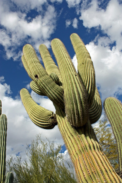 Arizona Saguaro - they can reach a height of 40-60 feet (12-18 meters).