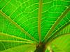 Castor Bean Leaf