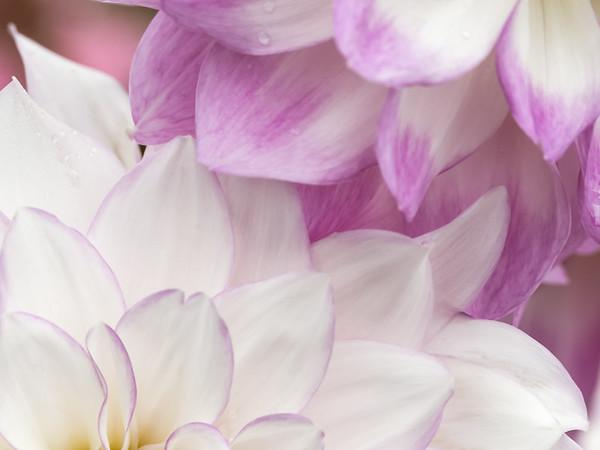 Softly focused closeup macro shot of two Dahlias sweetly touching petals.