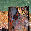 Crab in Bermuda II