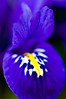 Miniature Dutch Iris