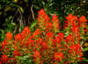 Paintbrush (Castilleja spp.)