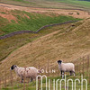 Sheep in the Dales I