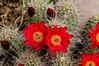 Cactus Blooms