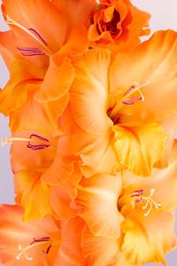 flower for Joyous, 'sun kissed' gladiola