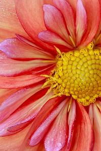 Close up of E A Duzzit Dahlia.