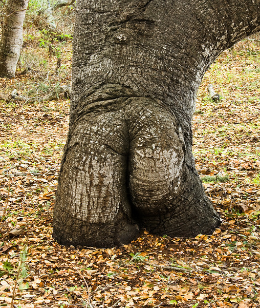 The Butt Tree