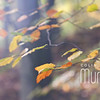Autumn Leaves VIII