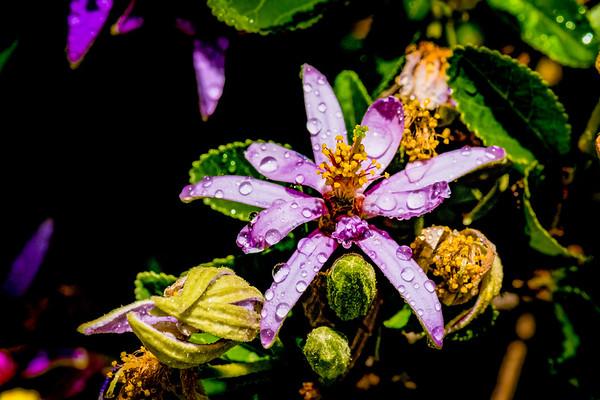 Lavender Starflower