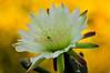 Cactus flower #3