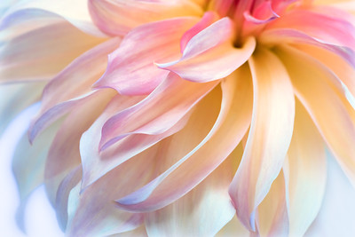 Delicate Dahlia petals diagonally across the image.  Light yellow fades to pink