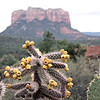 Desert cactus in bloom. (Sedona, AZ)