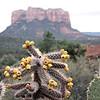 Desert cactus in bloom. (Sedona, AZ)