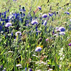 Blue wild flowers rendition. (Kizhi)
