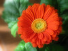 Gerbera Daisy for Claire