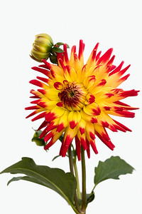Happy feeling Wildcat Dahlia with two buds behind, isolated on a white background