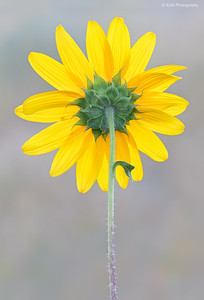 Underside of a Sunflower