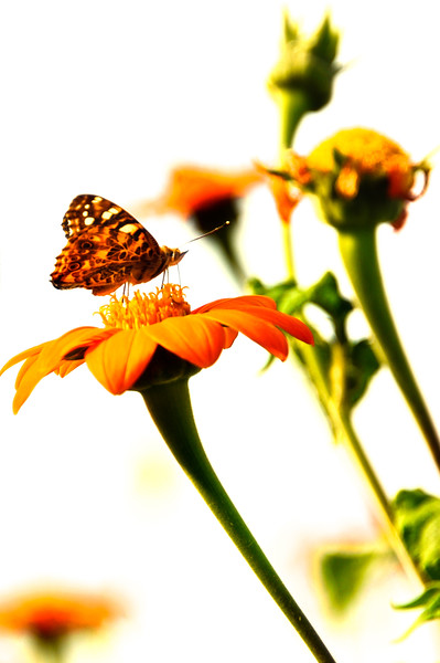 Hig Key sunflower and butterfly