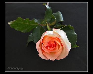Lindsay's Rose