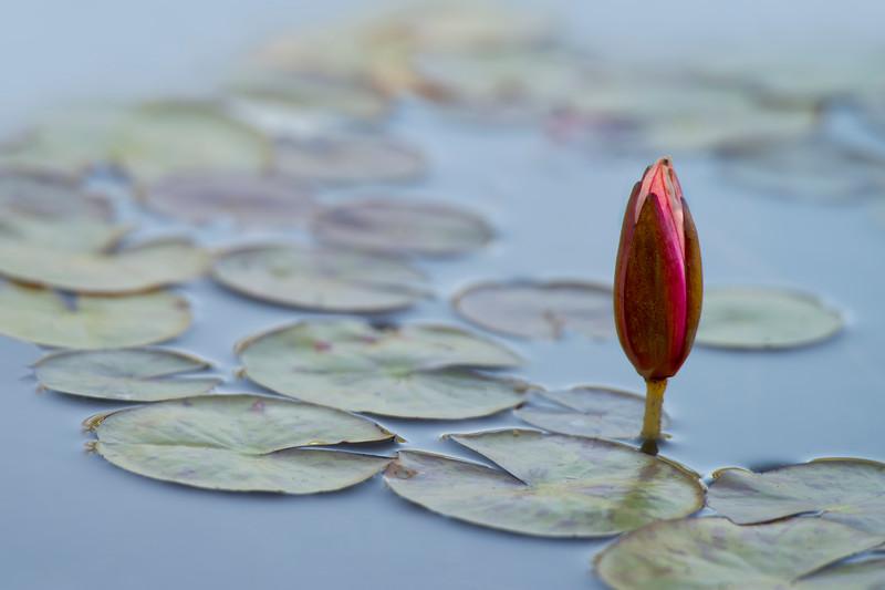 Brilliant Waterlily Bud