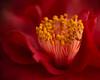 Red Rose Spirit