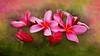 Plumeria in Pink
