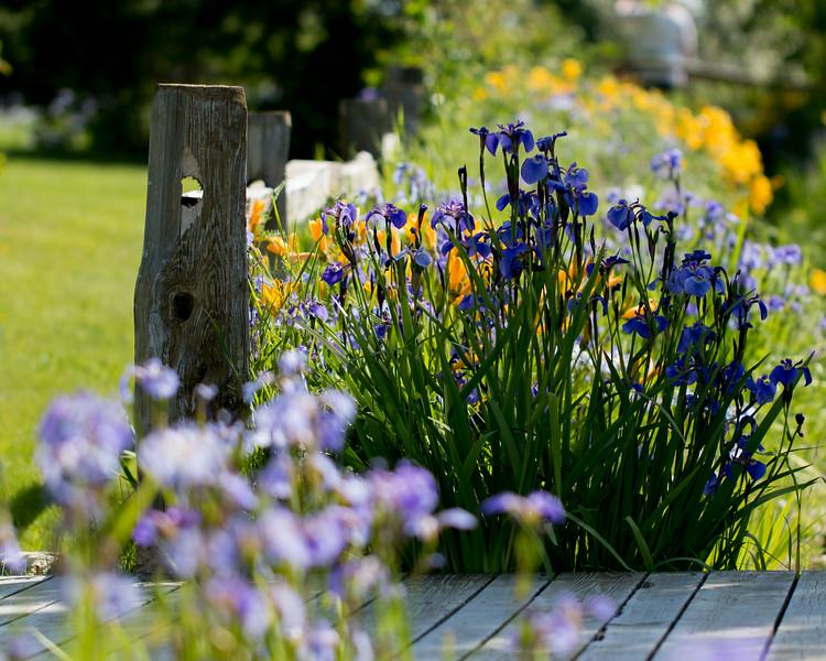 Iris at Georgeson Botanical Gardens