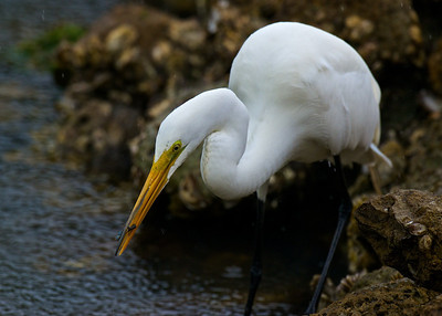 Great Egret, Ding Darling NWR, Sanibel Island, Florida