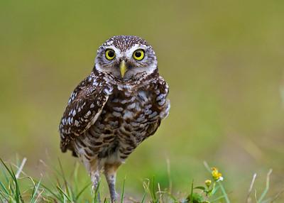 Burrowing Owl, Brian Piccolo Park