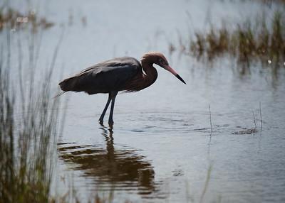 Reddish Egret, Merritt Island NWR, Florida