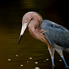 Reddish Egret, Estero, Fort Myers Beach, Florida