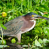 Green Heron with Dragonfly