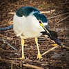 Night Heron with catfish