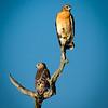 Hawk Pair