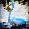 Egret & fish