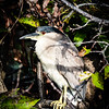 Crowned- Night Heron
