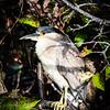 Crowned- Night Heron