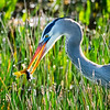 Blue Heron with catch