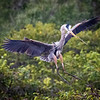 Blue Heron, nest building, Wakodahatchee