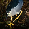 Crowned Night Heron, Wakodahatchee