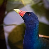 Purple Gallinule, Wakodahatchee