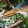 Least Bittern with catch, Wakodahatchee