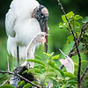 Woodstork with chicks, Wakodahatchee