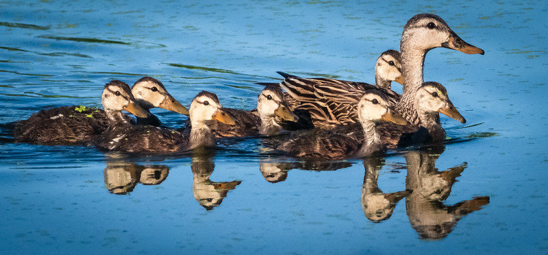 Duck family at Peaceful Waters