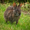 Marsh Rabbit, Green Cay
